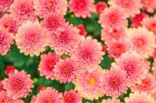 Free Flower, Pink, Flowering Plant, Plant Royalty Free Stock Images - 97175609