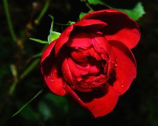 Free Red, Flower, Flora, Rose Family Royalty Free Stock Image - 97175696