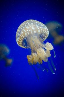 Free White Jelly Fish On Water Stock Photos - 97187803
