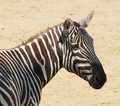 Free Head Of Zebra Royalty Free Stock Photos - 9721768