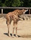 Free Young Giraffe In ZOO Stock Photo - 9727450