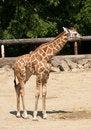 Free Young Giraffe In ZOO Stock Image - 9727481