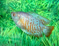 Free Beautiful Blue-red Aquarian Small Fish Royalty Free Stock Image - 9720446