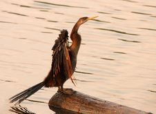 African Darter Stock Photography