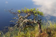 Small Pine Overhanging On A Water Stock Images