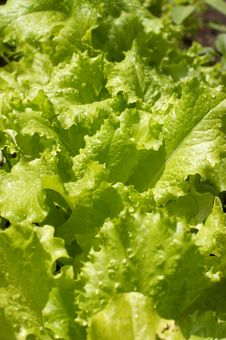 Garden Bed Of Lettuce Stock Photos