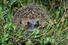 Free Hedgehog In A Grass Royalty Free Stock Image - 9723176
