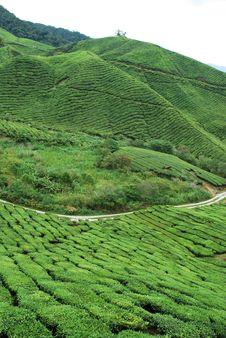 Free Tea Plantation Royalty Free Stock Photos - 9723398