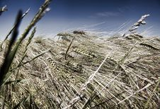 Free In Grain Field Stock Photography - 9724002