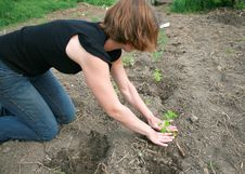 Free Woman Planting Tomatoes Stock Photography - 9725402