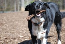 Free Dog With Stick Royalty Free Stock Photography - 9726587