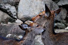 Free Deer Stock Photos - 9726743