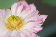 Free Lotus Flower Royalty Free Stock Image - 9727456