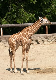 Free Young Giraffe In ZOO Stock Image - 9727481