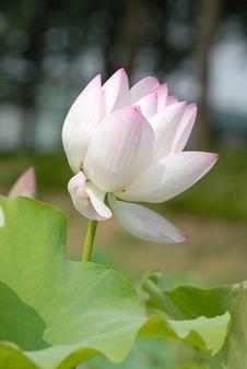 Free Lotus Flower Stock Photos - 9727493