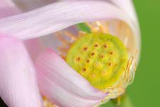 Free Lotus Flower Stock Images - 9727504
