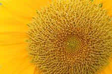 Free Sunflower Royalty Free Stock Photos - 9727518