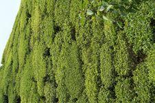 Free Tea Garden Close-up Royalty Free Stock Photo - 9727685