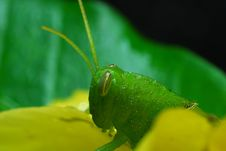Free Grasshopper Royalty Free Stock Image - 9727856