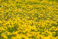 Field Of Dandelion Royalty Free Stock Photography
