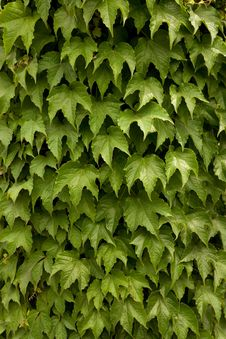Free Green Leaves Background Royalty Free Stock Photo - 9729315