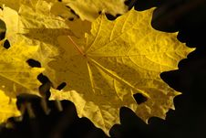 Free Maple Leaf, Leaf, Yellow, Autumn Stock Photo - 97217730
