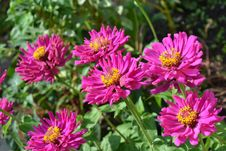 Free Flower, Plant, Aster, Flora Royalty Free Stock Photo - 97217755