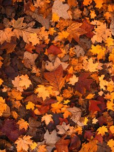 Free Leaf, Autumn, Maple Leaf, Deciduous Royalty Free Stock Photo - 97218805