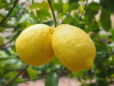 Free Citrus, Fruit, Lemon, Citron Royalty Free Stock Photos - 97219418
