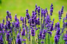 Free English Lavender, Lavender, Flower, French Lavender Stock Photography - 97219432