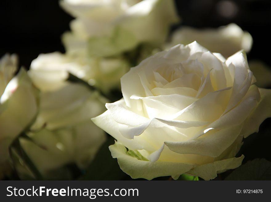 Flower, Rose, White, Rose Family