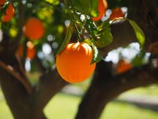 Free Fruit, Citrus, Fruit Tree, Orange Stock Images - 97220024