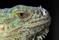Free Reptile, Iguana, Scaled Reptile, Fauna Stock Images - 97220454