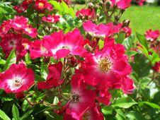 Free Rosa Rubiginosa Bush Stock Image - 97279921