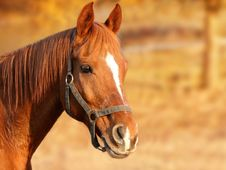 Free Horse, Halter, Bridle, Mane Royalty Free Stock Photo - 97287065