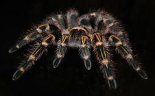 Free Tarantula, Invertebrate, Arthropod, Insect Royalty Free Stock Photography - 97287107