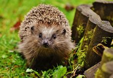 Free Hedgehog, Domesticated Hedgehog, Erinaceidae, Fauna Stock Photo - 97293170