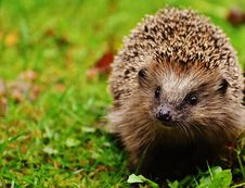 Free Hedgehog, Erinaceidae, Domesticated Hedgehog, Fauna Stock Photo - 97293480
