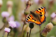 Free Butterfly, Insect, Moths And Butterflies, Brush Footed Butterfly Stock Photography - 97294602