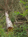 Free Chopped Down Tree. Royalty Free Stock Image - 9730036