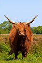 Free Highlander Cow Royalty Free Stock Photography - 9733827