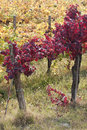 Free The Red Vine Royalty Free Stock Image - 9735526