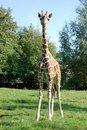 Free Baby Giraffe Royalty Free Stock Photography - 9737087