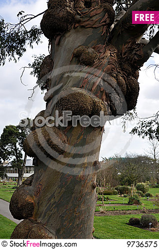 Free Tree With Warts Royalty Free Stock Photo - 9736575