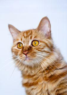 Free Cat Portrait Stock Photo - 9730240