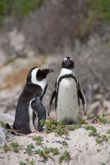 Free Two Penguins Stock Photos - 9730873