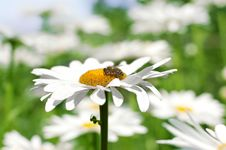 Bee Gathering Pollen On Daisy Royalty Free Stock Images