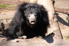 Black Sloth Bear Stock Images