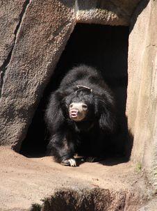Free Black Sloth Bear Royalty Free Stock Image - 9731326