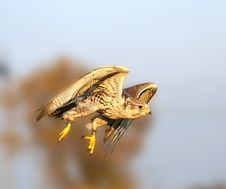 Free The Falcon In The Flight Stock Photos - 9731793
